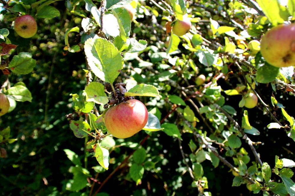 Unsere ersten Äpfel