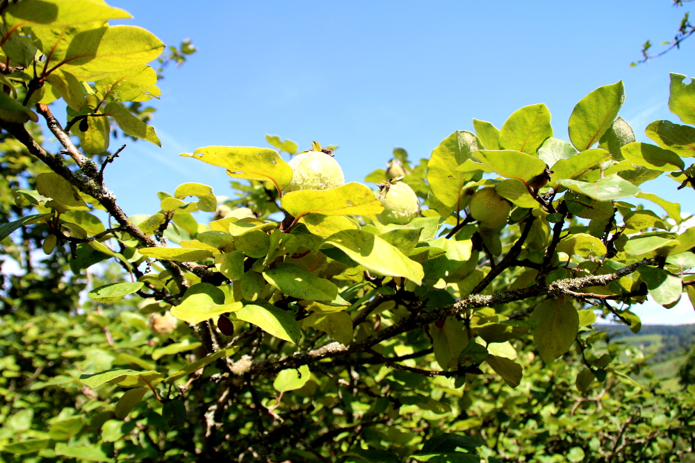 Quittenbaum mit Früchten