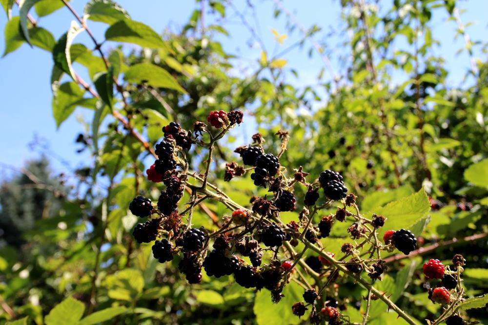 Brombeerpflanze mit Früchten