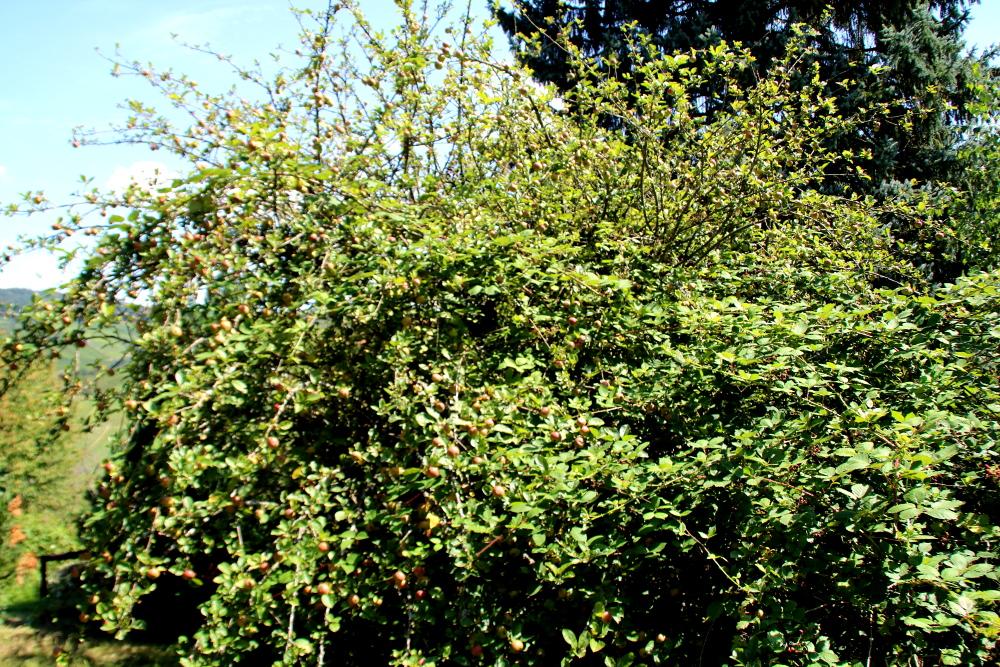 Unser Apfelbaum vor dem Rückschnitt