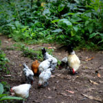 all-the-somethings-wandern-azoren-azores-hiking-chicken